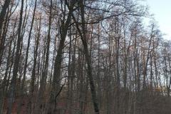 #100 31.12.2019r. droga Choczewo - Łętowo dwa drzewa zagrażające powaleniem na droge powiatową