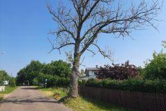 #41 18.06.2021r.  Kierzkowo - drzewo zagrażające powaleniem na drogę i posesję