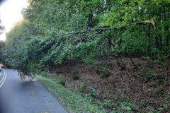 #80 24.09.2021r. Karczemka Gardkowska - korona drzewa wisząca nad jezdnią