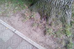 #85 02.08.2020r. Choczewo ul. Kusocińskiego - gniazdo szerszeni w pniu drzewa